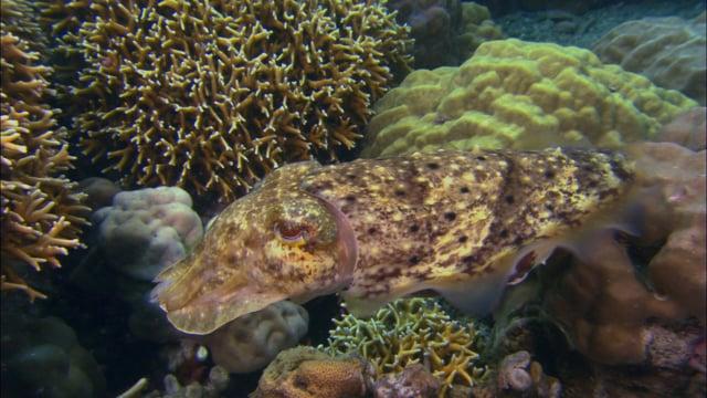 DH VMP Cuttlefish Lay Eggs 2mins