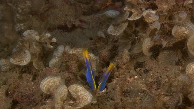 DH VMP Blue Ribbon Eels - 2mins