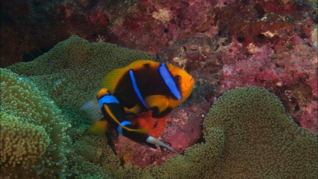 DH VMP Anemonefish tending eggs - 2mins