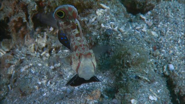 DH VMP Crab-eyed Gobys Housekeeping, 2mins