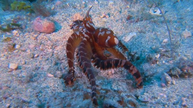 DH VMP Wunderpus Octopus - 2mins