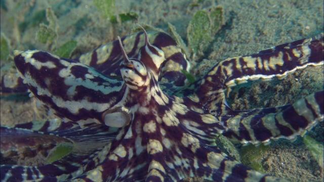 DH VMP Mimic Octopus Hunting - 2mins
