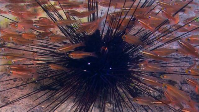 DH VMP Urchins Cardinalfish 2mins