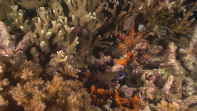 DH VMP Mandarin Fish spawning 2mins
