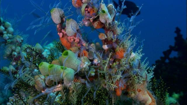DH VMP Amazing Ascidians 2mins