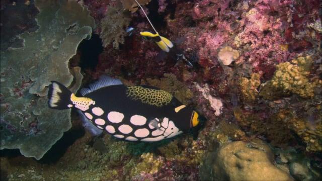 DH VMP Clown Triggerfish - 2mins