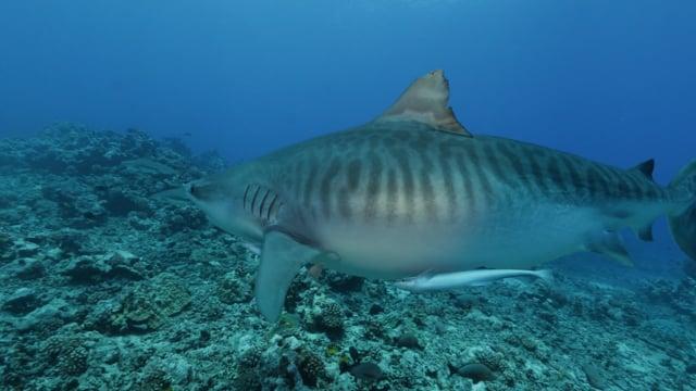 DH VMP Tiger Shark - 2mins