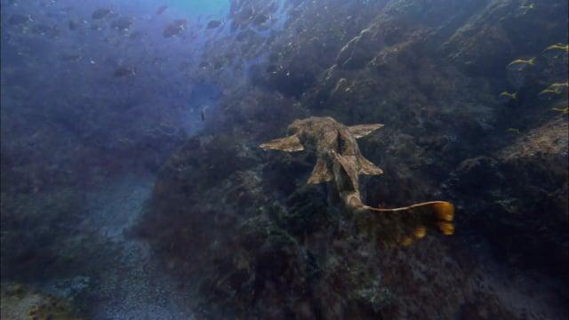 DH VMP Wobbegong Carpet Sharks - 2mins