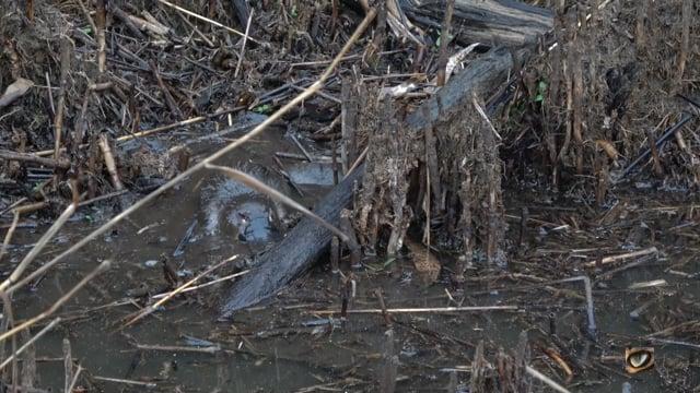 Platypus foraging, Tidbinbilla NR, Canberra, Australia July 2019 (1080p)