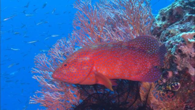 DH VMP Coral Cod montage - 2mins