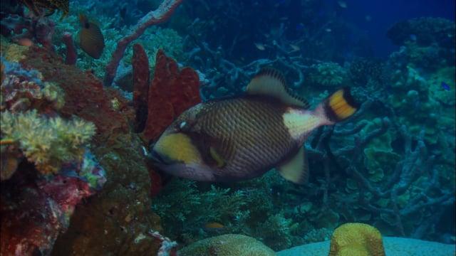 DH VMP Titan Triggerfish - 2mins