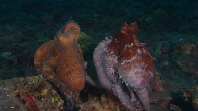 DH VMP Reef Octopus Courtship - 2mins