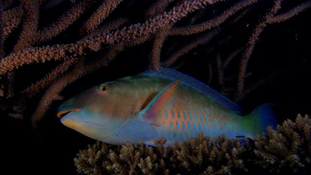 DH VMP Parrotfish Sleeping, night - 2mins