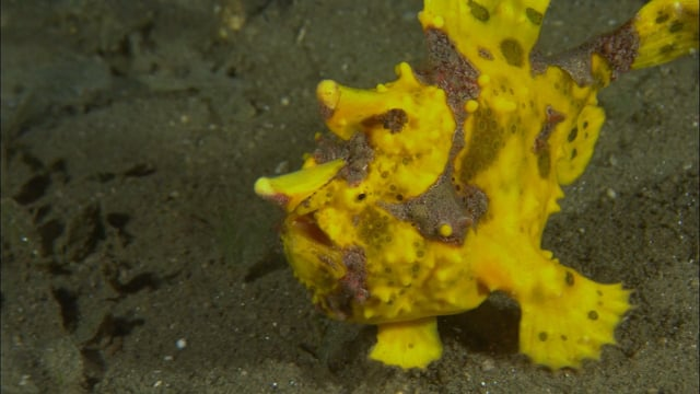 DH VMP Painted Frogfish Variety - 2mins