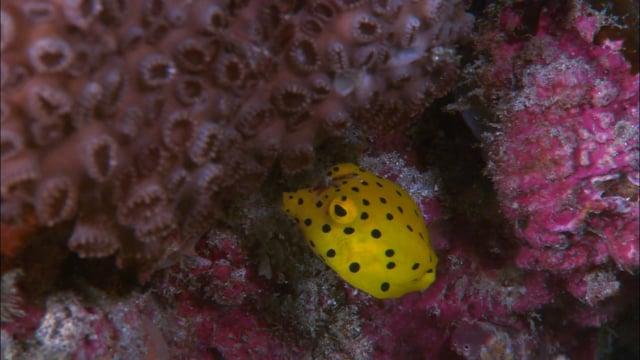 DH VMP Yellow Boxfish Juvenile - 2mins