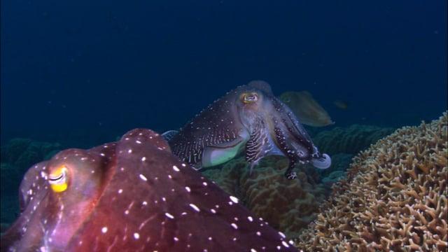 DH VMP Cuttlefish Courtship - 2mins
