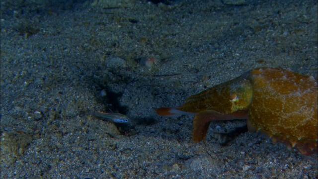 DH VMP Cuttlefish hunting, Night - 2mins