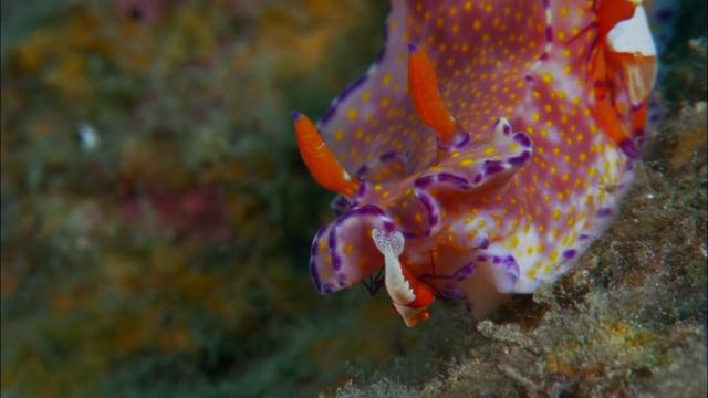 DH VMP Emperor Shrimps riding Nudibranch - 2mins