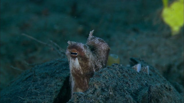 DH VMP Octopus, small, hiding in coconut shell - 2mins