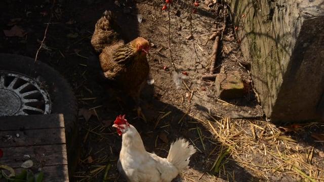 LIbellules - poules