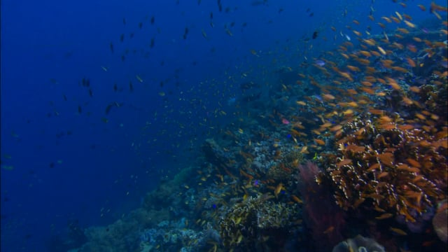 DH 201 Coral Reef Outer Edge Biodiversity, Travelling, Mixed Corals, Mixed Fish, Milne Bay, PNG
