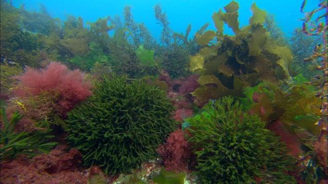 DH 041 Algae, colourful, biodiversity, Tasmania