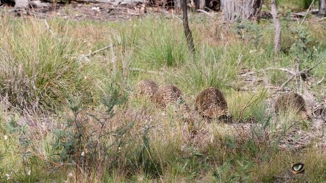 Short-beaked Echidna (mating 'train') (Tachyglossus aculeatus) Canberra, Australia, Sept 2020 (4K)