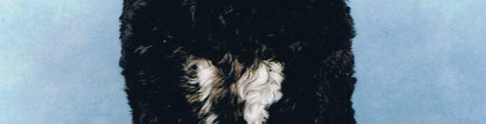 Cão, onze Portugese Waterhond