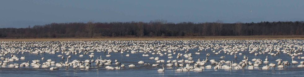 Friends of the Tundra Swans