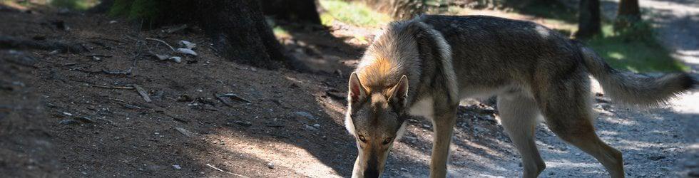 Eska von der Wolfspfote