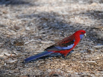 Parrots and Cockatoos of Australia and New Zealand