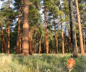 Restoring AZ Forests
