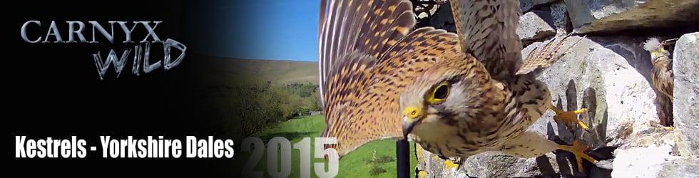 Yorkshire Dales Kestrel Nest 2015