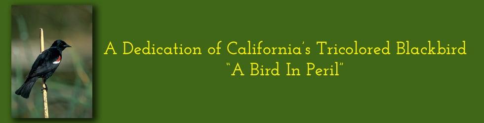 """Tricolored Blackbird """"A California Bird In Peril"""""""
