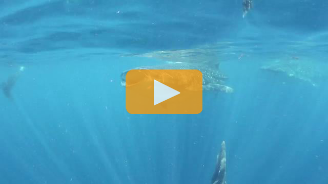 Cocos and Whale Shark Expeditions - Canon T2i Underwater Video