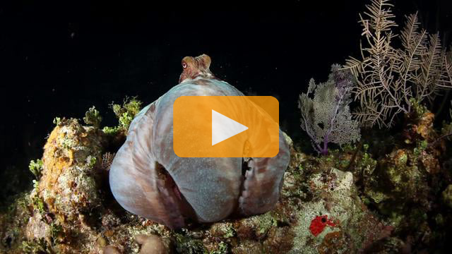 Octopus Night Dive - Canon 5Dmk II Underwater Video