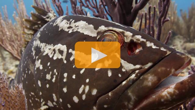 The Life of a Grouper - Canon 5Dmk II Underwater Video