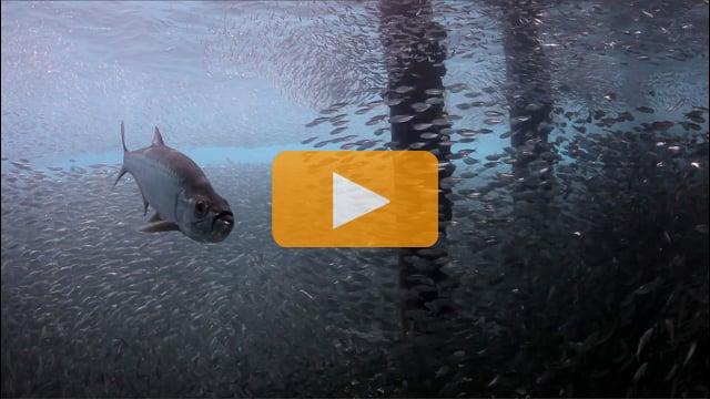 Shoal of Scad in Bonaire - Canon 5Dmk II Underwater Video