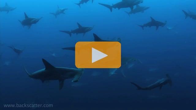 Berkley White - Cocos - One Dive, Two Hundred Hammerhead Sharks