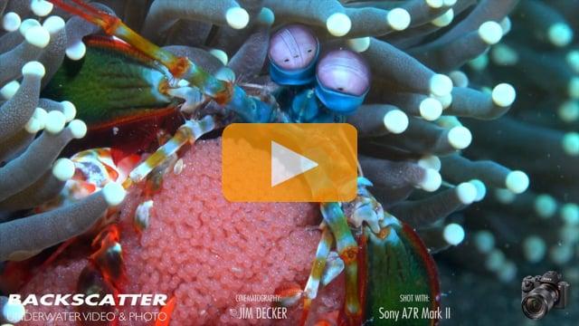Sony A7R Mark II Underwater Macro Video--Review