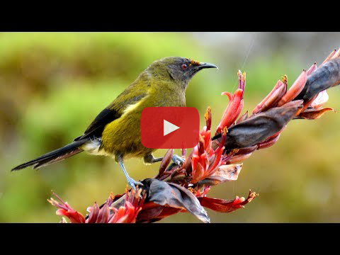 Video still: bellbird.