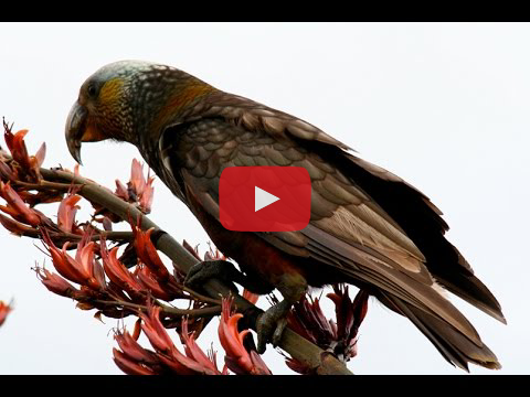 Video: Record breeding season for Waitutu kākā