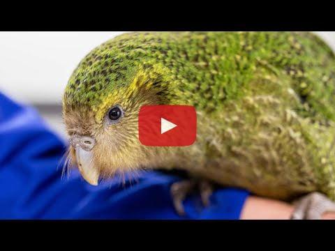 Auckland Zoo kākāpō video