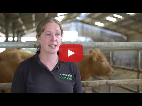 Eradicating BVD From the Beef Herd