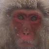 Snowy Monkey
