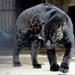 النمر الآسود