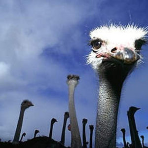 Profile picture for Angry Ostrich Productions
