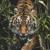michael tiger