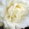 rosebud2704