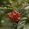 Rowanberry Bliss